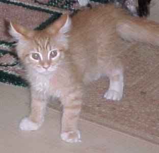 Maine Coon Cats - Maine Shag Cat - The Yankee Cat